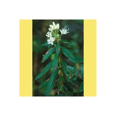 Lédon du groenland bio Huile essentielle 5ml - Aromathérapie Pranarom
